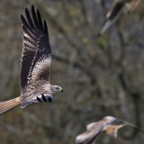 RED-KITES-GATHERING-by-Barry-Thomas