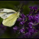 SMALL-WHITE-BUTTERFLY-by-Bev-Wareing