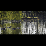 UNDER-THE-WEEPING-WILLOW-by-Rosemary-Gooch