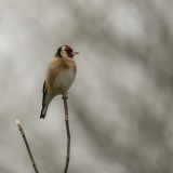 GOLDFINCH-by-Lisa-Travers