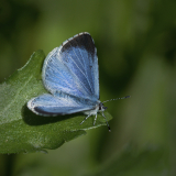 HOLLY-BLUE-by-Lisa-Travers.