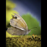 MEADOW-BROWN-BUTTERFLY-ON-A-SUNFLOWER-by-Rosemary-Gooch-