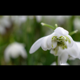 SPRING-SNOWDROP-by-Taryna-Herbert