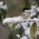 COAL-TIT-IN-THE-SNOW-by-Lisa-Travers