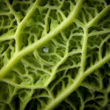 DEEP-INSIDE-THE-CABBAGE-SOMETHING-IS-LURKING-by-Barry-Thomas