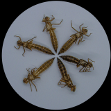 DRAGONFLY-EXUVIAE