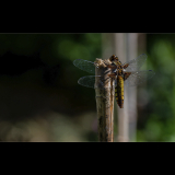 FEMALE-BROAD-BODIED-CHASER-by-Lisa-Travers