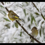GREENFINCHES-IN-THE-SNOW-by-Lisa-Travers