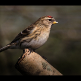 LESSER-REDPOLL-by-Barry-Thomas
