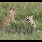 LION-CUBS-by-John-Sykes