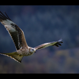 RED-KITE-IN-FLIGHT-by-Barry-Thomas