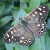 SPECKLED-WOOD-BUTTERFLY-by-Bev-Wareing