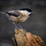 WILLOW-TIT-by-Barry-Thomas
