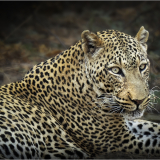 ZAMBIAN-LEOPARD-by-Frank-Hobbs