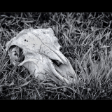 SHEEPS-SKULL-by-Peter-Edge
