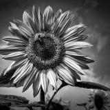 SUNFLOWER-by-Rosemary-Gooch