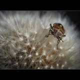 BROWN-MARMORATED-STINK-BUG-by-Rosemary-Gooch