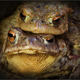 COMMON-TOADS-by-Rosemary-Gooch