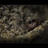 JUMPING-SPIDER-by-Rosemary-Gooch
