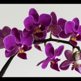 ORCHID-by-John-Riddy