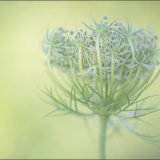 QUEEN-ANNS-LACE-by-Lisa-Travers.-1