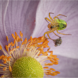 SPIDER-ON-ANEMONE-by-Frank-Hobbs