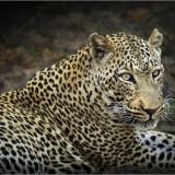 ZAMBIAN-LEOPARD-by-Frank-Hobbs-1