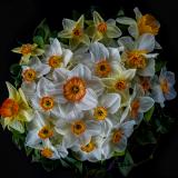 DAFFODIL-MIX-by-Rosemary-Gooch