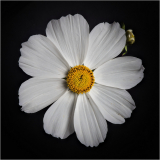 WHITE-COSMOS-by-Barry-Thomas