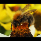 BUMBLE-BEE-by-Carl-Baker