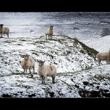 FIVE-SHEEP-by-Peter-Edge