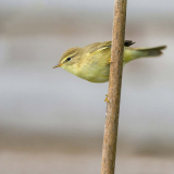 WILLOW-WARBLER-by-Lisa-Travers