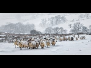 WINTER SHEEP IN A BLIZZARD by Blythe Bridge
