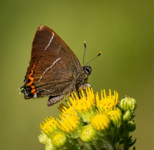WHITE-LETTER HAIRSTREAK by Bakewell